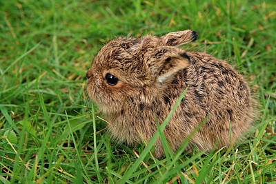 March Hare Photograph - Leveret by Aidan Moran