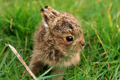 Leveret In The Grass Print by Aidan Moran
