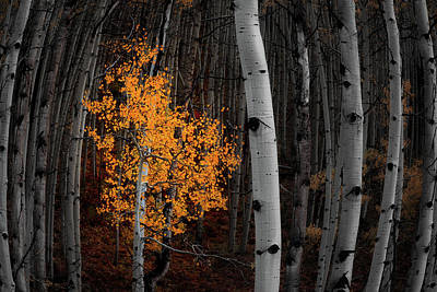 Aspen Tree Fall Colors Photograph - Light Of The Forest by Darren White
