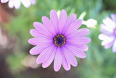 Light Purple Gazania Macro 1  Print by Linda Brody