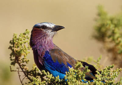 Lilac Breasted Roller Print by Sandra Bronstein