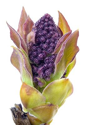 Violet Photograph - Lilac Bud by Jim Hughes