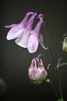 Flower Photograph - Lilac Columbine 3 by Teresa Mucha