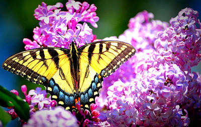 Wildlife Photograph - Lilac N Yellow by Emily Stauring