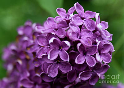 Photograph - Lilac by Nora Blansett