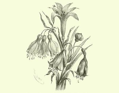 Lilies Drawing - Liliaceae Of Sacsahuaman, Amaryllis Aurea, Crinum Urceolatum, Pancratium Recurvatum by Edouard Riou