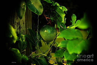 Passion Fruit Photograph - Lilikoi Vine 3 by Cheryl Young