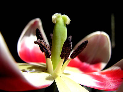 Floral Photograph - Lilly by Chaz McDowell