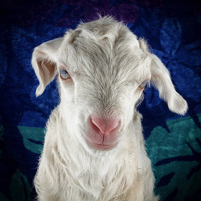Goat Photograph - Lilo Is Not Impressed. by TC Morgan