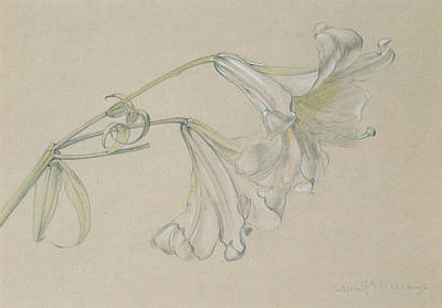 Lilies Drawing - Lily by Albert Williams