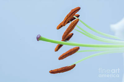 Photograph - Lily Macro 1 by Steve Purnell