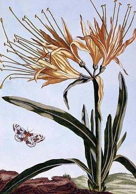 Lilies Drawing - Lily by Pierre-Joseph Buchoz