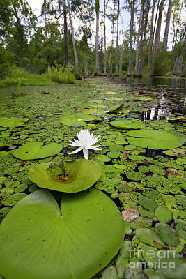 Lilypads And Flower In The Cypress Swamp Print by Dustin K Ryan