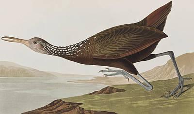 Limpkin Painting - Limpkin by John James Audubon
