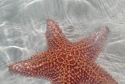 Starfish Photograph - Linnaeus Asterias Rubens by Betsy Knapp