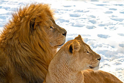 Lion Couple In The Snow Print by Gert Lavsen