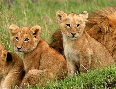 Lion Digital Art - Lion Cubs - Too Cute by Nancy D Hall
