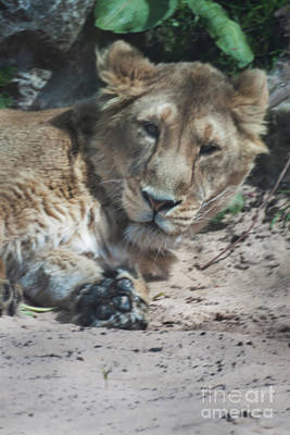 Lion Print by Doc Braham