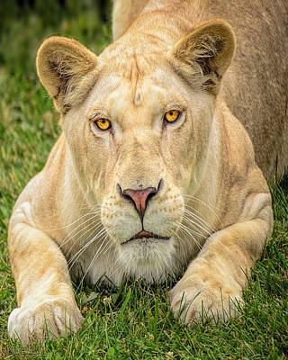 Angry Photograph - Lion Nature Wear by LeeAnn McLaneGoetz McLaneGoetzStudioLLCcom