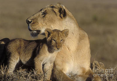 Lioness And Her Cub  Print by Sandra Bronstein