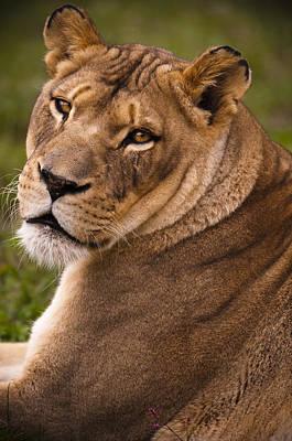 Femal Photograph - Lions Beauty by Chad Davis