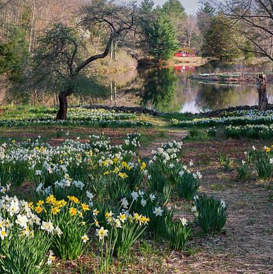 Daffodils Photograph - Litchfield Daffodills Cabin Square by Bill Wakeley