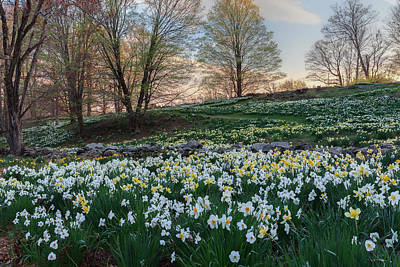 Litchfield Daffodils Flowering Landscape Print by Bill Wakeley
