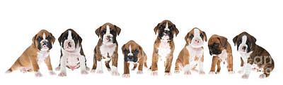 Litter Of Boxer Puppies Print by Diane Diederich