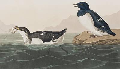 Swallow Drawing - Little Auk by John James Audubon