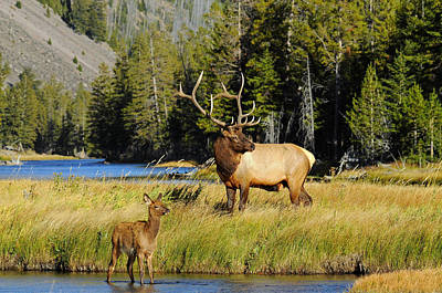 Elk Photograph - Little Big Man by Sandy Sisti