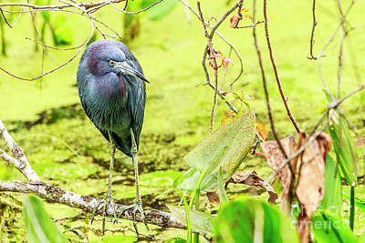 Little Blue Heron At Ollie's Pond Print by Ben Graham