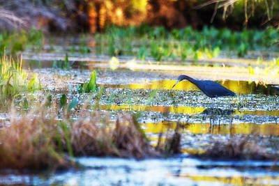 Estuary Photograph - Little Blue Heron Swamp by J Darrell Hutto
