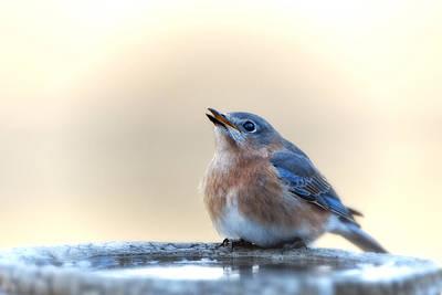 Little Bluebird In Morning Light Original by Bonnie Barry