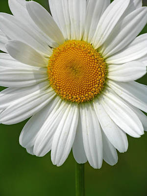 Daisies Photograph - Little Darling by Juergen Roth