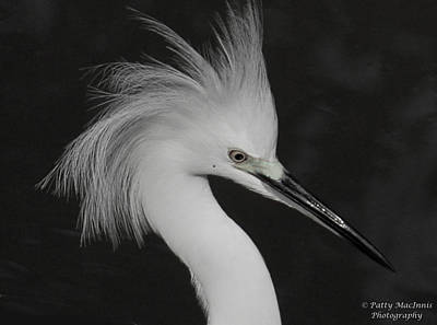 Photograph - Little Egret by Patty MacInnis
