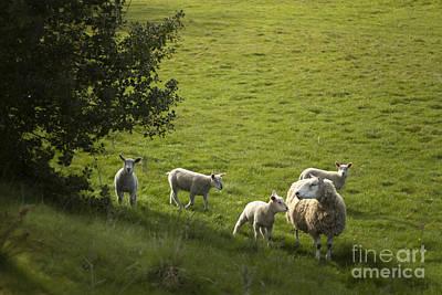 Sheep Photograph - Little Lamb by Angel  Tarantella