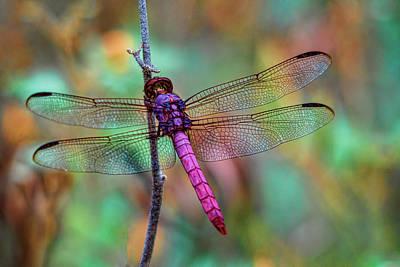 Little Pink Dragonfly  Print by Saija Lehtonen