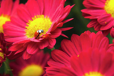 Beetle Photograph - Little Red Ladybug by Christina Rollo
