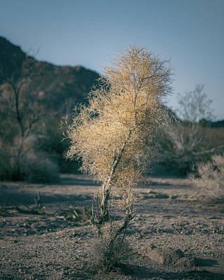 Sonoran Desert Photograph - Little Smoke Tree by Joseph Smith