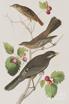 Berry Drawing - Little Tawny Thrush And Canada Jay by John James Audubon