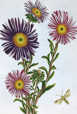 Daisies Drawing - Livingstone Daisy Dorothanthus by Pierre-Joseph Buchoz