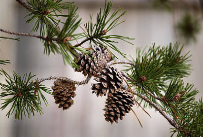 Lodgepole Pine Cones Print by Karen M Scovill