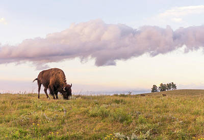 Bison Photograph - Lone Bison In Black Hills, South Dakota by Jim Hughes