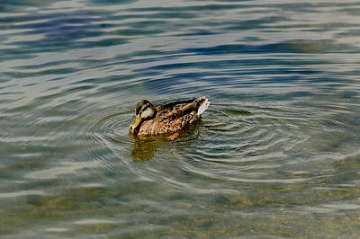 Lone Duck Swimming On A River Print by Todd Gipstein
