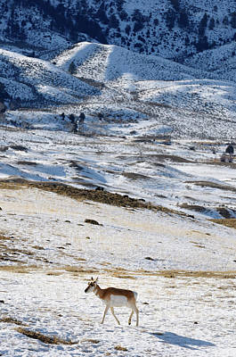 Winter Photograph - Lone Pronghorn Antelope In Winter At Old Yellowstone Trail South by Reimar Gaertner