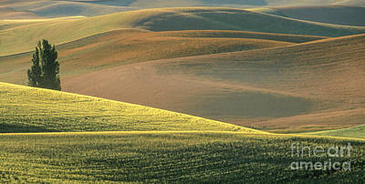 Lone Tree In The Palouse  Print by Sandra Bronstein