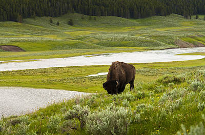 Lonely Bison Valley Print by Chad Davis