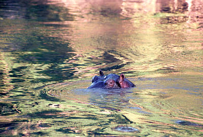 Hippopotamus Photograph - Lonely Hippo by Sebastian Musial