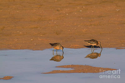 Dowitcher Photograph - Long-billed Dowitchers by Kenneth M. Highfill