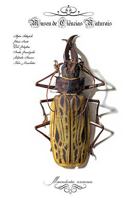 Long-horned Beetle Original by Claiton Ferreira